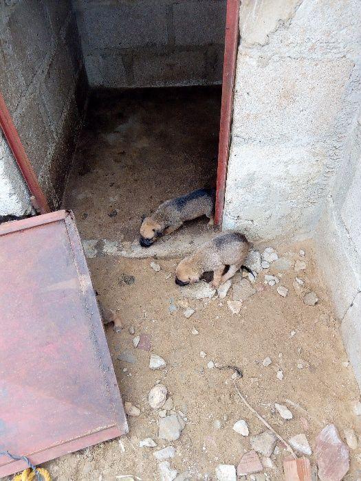 Cachorinhos de 1 mes