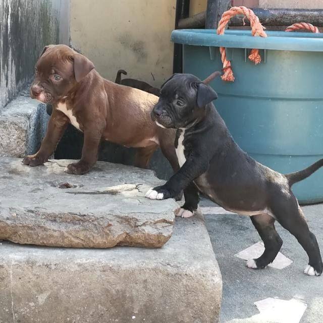American bulldog mix pitbull