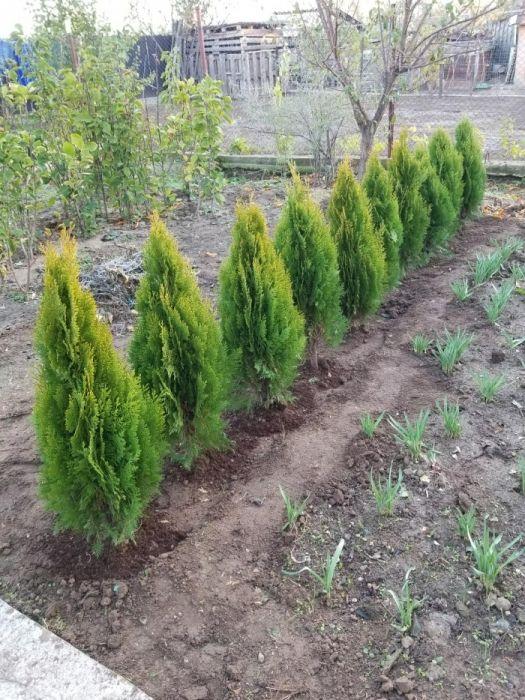 Tuia smaragd,columnaris,aureea nana