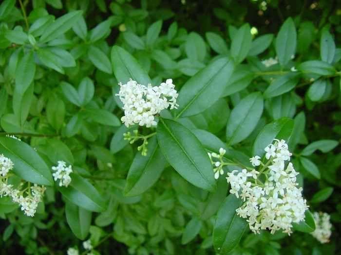 Gard viu cu flori / crestere rapida / verde iarna