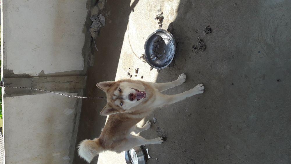 Crias de Husky Siberiano a venda por ótimos preços
