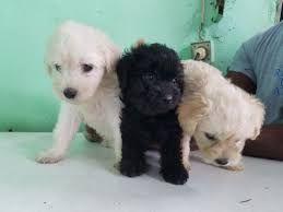 Crias de Caniche a venda