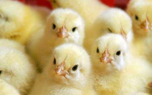 Бройлерные Куры! Суточные Цыплята! Куры! СКИДКИ!