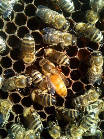 Matca (mătci) albine, carnica și carpatină