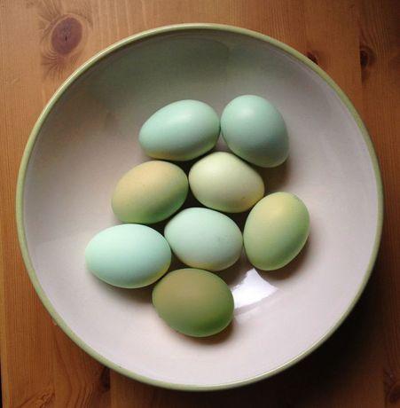 Инкубационные яйцо