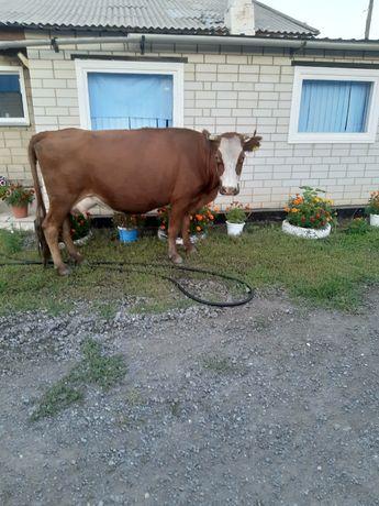 Продам корову стельная