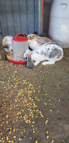 Vând iepuri (uriaș, berbec german ,metis )