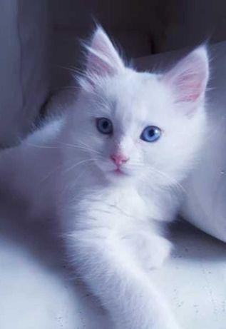 Ангорский котенок мальчик