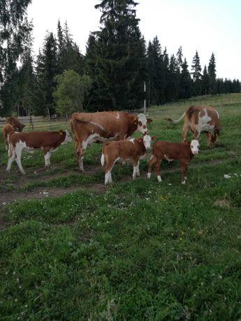 vand vaci şi vițeii