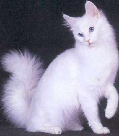 Котёнок мальчик Турецкая ангора