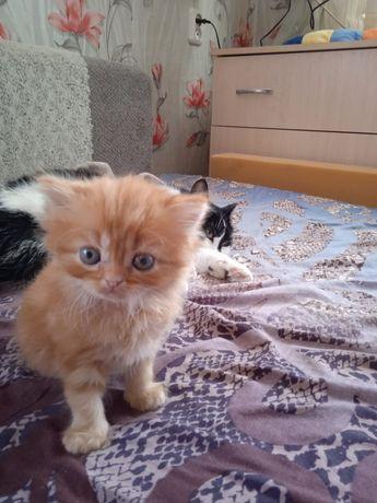 Очаровательный персидский котенок.