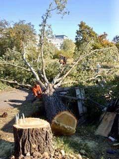 Безплатно отсичане на опасни дървета