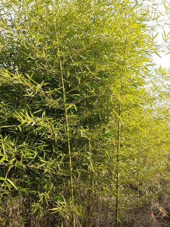 Vand bambus aclimatizat