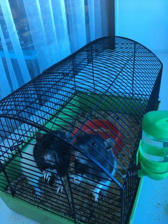 Продам домашних крыс