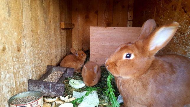 Vând iepuri, NeoZeelandez rosu