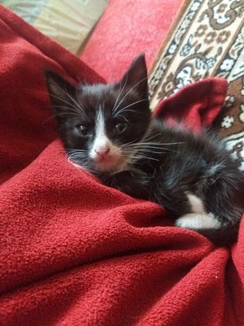 Отдам срочно девочку котенка ( 2 месяца)