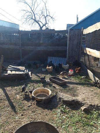 Продам цыплят  разных возрастов и квочку с 18 цыплятами