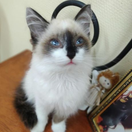 Очаровательная голубоглазая лапочка и гипер ласковая  красавица-Алиса!