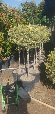 Vând ilex variegata
