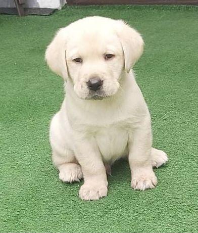 Labrador Retrivier