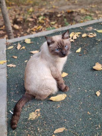 Кошка сиамская в частный дом