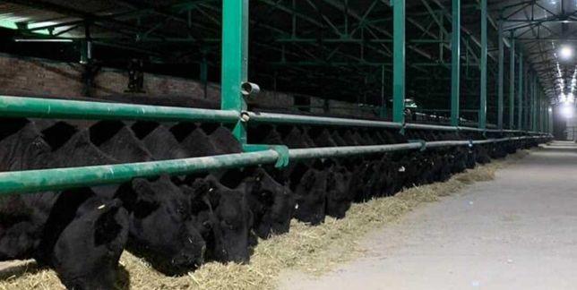 Продаются бычки, тёлки, нетели, коров, телята, абузау, КРС, МРС БЫК978