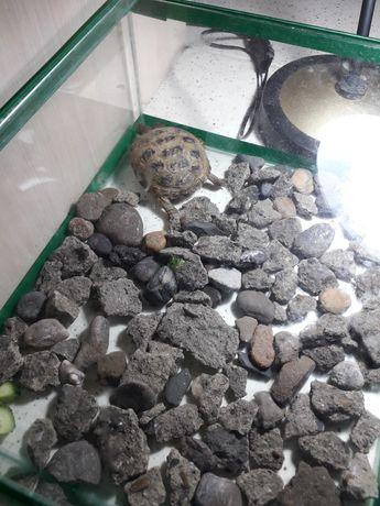 Продам черепаху сухопутчик