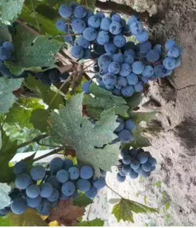 Struguri buni pentru vin