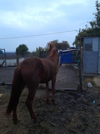 De vanzare doi cai