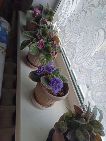 Комнатные цветы-фиалки