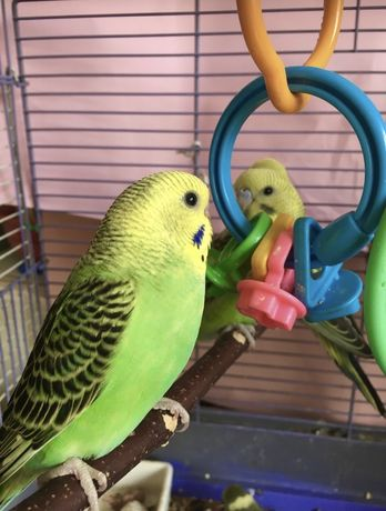 Волнистые попугаи (немцы)