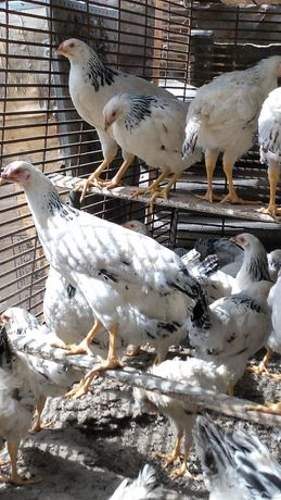 Продам цыплят Адлер серебро