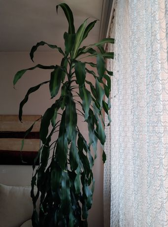 Декоративна палма с поставка на колелца