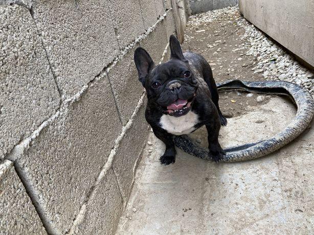 Vand femela bulldog francez