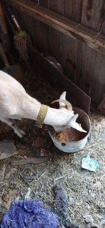 Продам козу, молочной породы