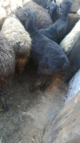 продам баранов жирных токты балабай ноходимся город Аксу