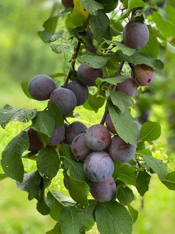 Sirop de prune de îți vezi nevasta frumoasă