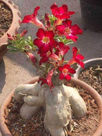 Puiuti Trandafir de Desert Bonsai BLACK RUBY