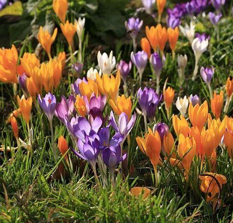 луковици на 4 цвята минзухар / пролетен и есенен /