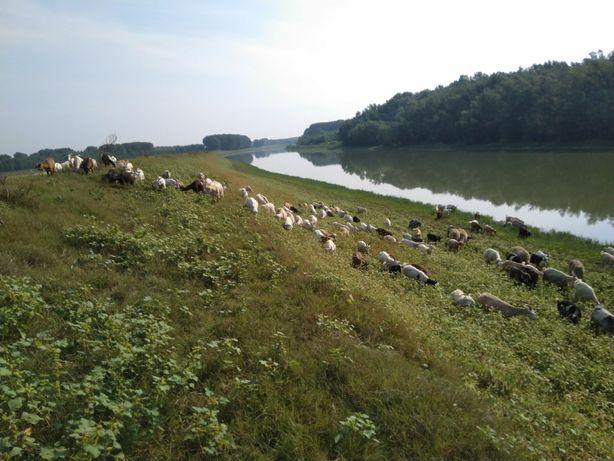 Lapte de capra, ideal pentru copii -- livrare la domiciliu in Giurgiu