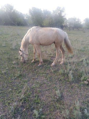 Лошадь (жеребец)