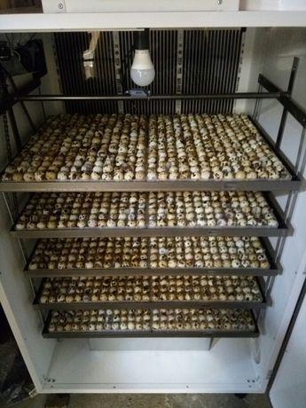 Oua de prepelita pentru incubat