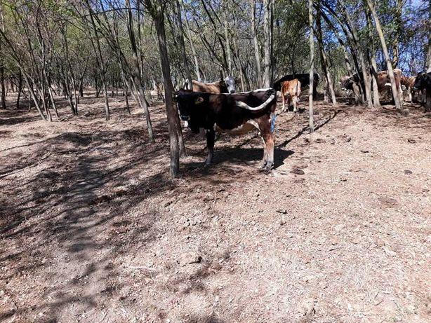 Vaci de lapte și tauri