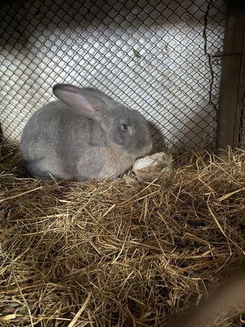кролики 6 месяцев