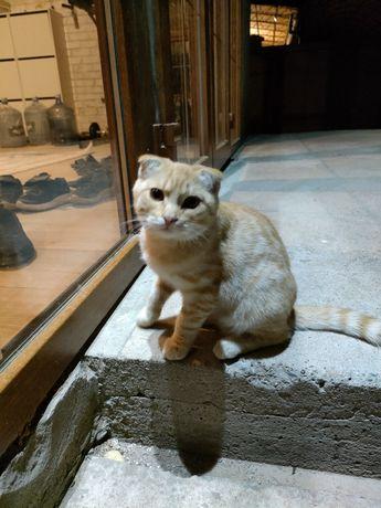 Продам кота породы скоттиш-фолд
