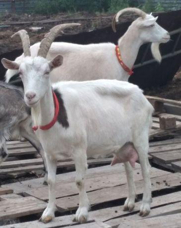 Зааненские молочные дойные козы