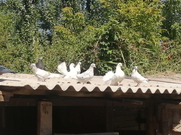Продам голубя