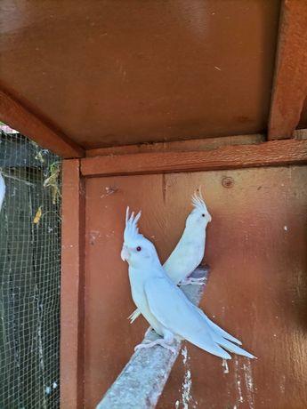 Pereche nimfe albino