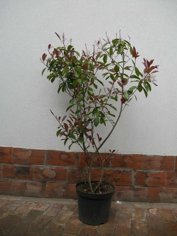 Photinia (fotinia) fraserii Red Robin