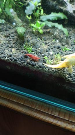 Сладководни чери скариди - red cherry shrimp